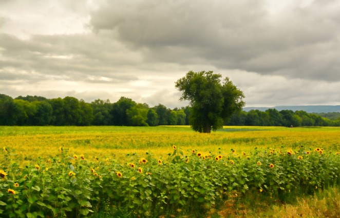 Sunflowers and The Tree