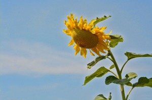 Praying Sunflower