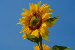 Smiling Sunflower